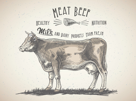 red heifer: Cow in graphic style, and inscriptions, drawing illustration by hand.