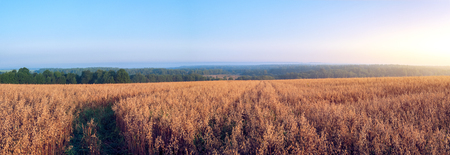 Rural landscape at dawn, terrain with oat fields. Panoramic photo. Banco de Imagens - 99627564