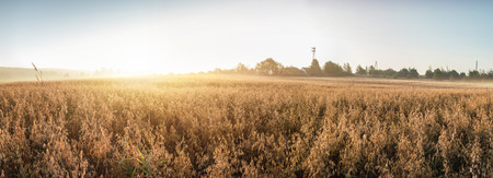 Rural landscape at dawn, terrain with oat fields and from the village on the hill. Panoramic photo. 写真素材