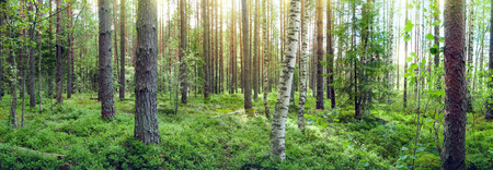 Forest landscape with a blueberry field in a pine forest. Panoramic photo. Фото со стока