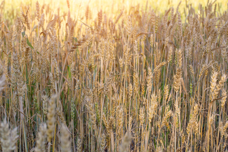 Ripe ears of rye lit by the morning sunlight