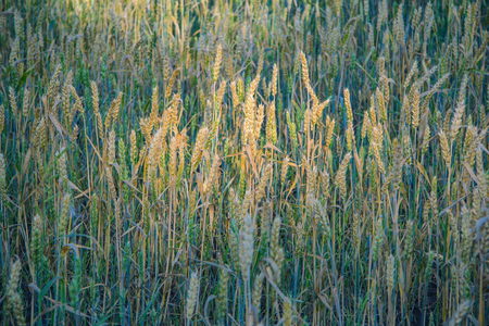 Ripe ears of rye lit by the sunlight
