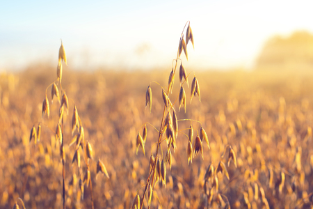 Oat ear on the field, illuminated by the dawn sun Фото со стока