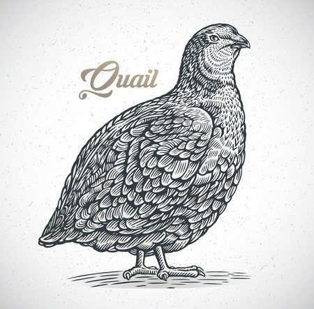 Graphic image of quail in engraving style. Ilustracja