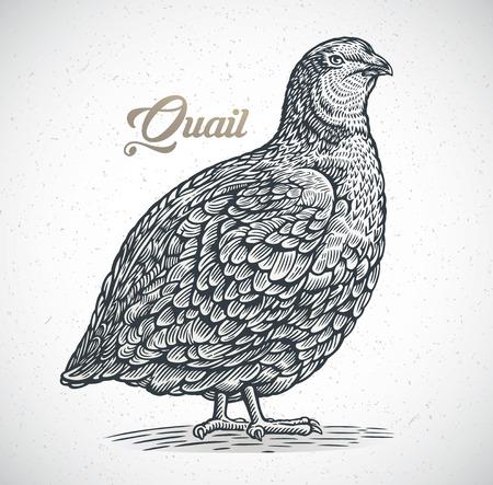 Image graphique de caille dans le style de gravure.