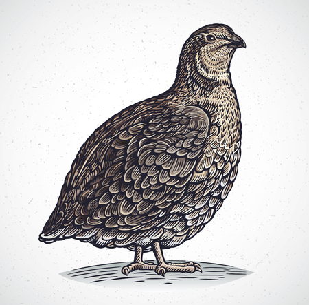 Graphic image of quail in engraving style, in color.