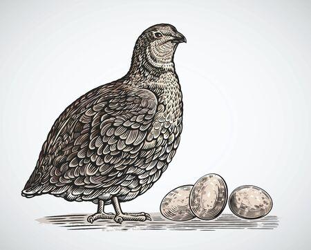 Codorniz gráfica en estilo grabado y huevos de codorniz
