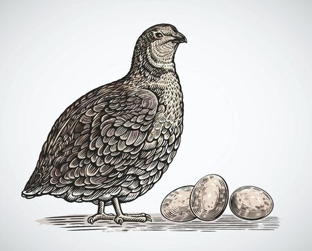 Graphic quail in engraving style and quail eggs