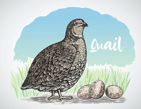 Graphic quail in engraving style and quail eggs Reklamní fotografie - 131079897