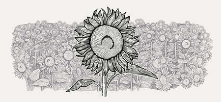 Agriculture field with a sunflowers and one large sunflower in the foreground. Vector illustration in engraving style.