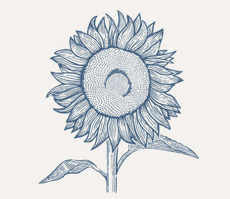 Illustration of a sunflower in an engraving style