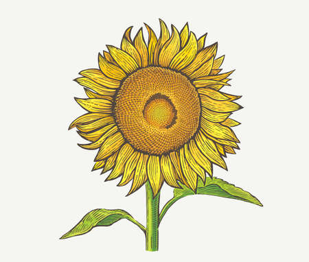 Sunflower plant, illustration of a in an engraving style, and painted in color.
