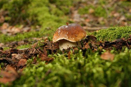 edulis: mushroom (Boletus edulis) in the forest