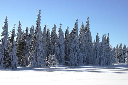 conifers: winter landscape with conifers