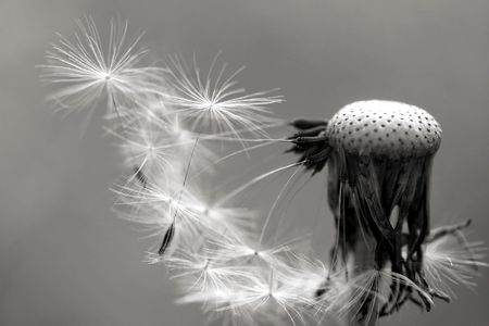 black and white dandelion Stock Photo - 2768073