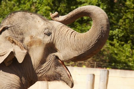 nose picking: elephant picking up his trunk Stock Photo