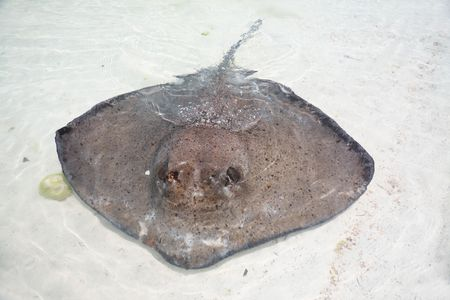 stingray: stingray in a shallow water