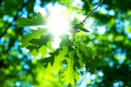 backlit: groene laat van maple op blauwe hemel achtergrond Stockfoto
