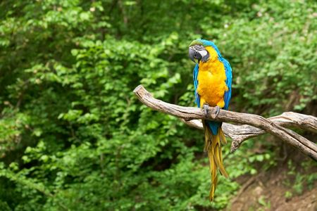 ararauna: macaw on the branch