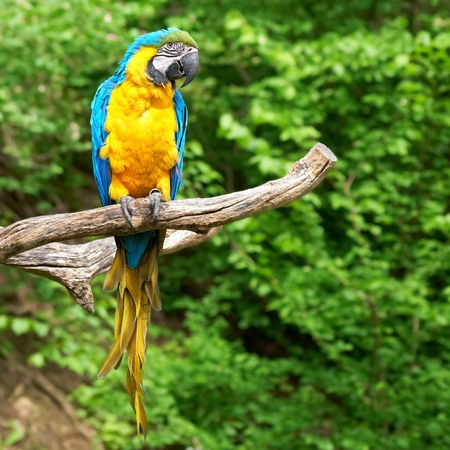 parrot tail: macaw on the branch