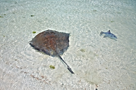 stingray and triggerfish in a shallow water photo