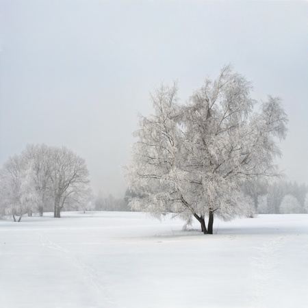 rime frost: Frozen birch tree in the fog Stock Photo