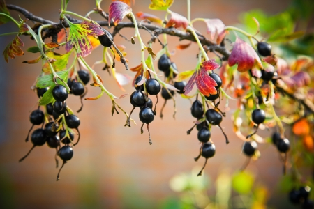 black currant on a branch in the garden photo