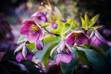 purple hellebore flower, also known as Christmas rose and Lenten rose Standard-Bild