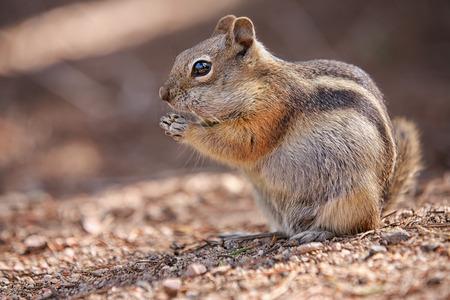 ardilla: comer ardilla colorado en el Parque Nacional de las Montañas Rocosas, EE.UU.