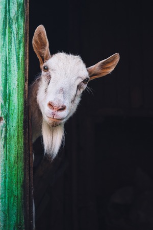 curious hornless goat photo