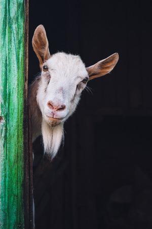 nieuwsgierige hornless geit