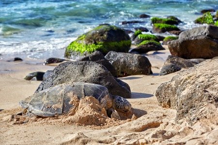 north shore: Beached giant green sea turtle (Chelonia mydas) on sand at Laniakea (Turtle) beach, North shore, Oahu, Hawaii, USA Stock Photo