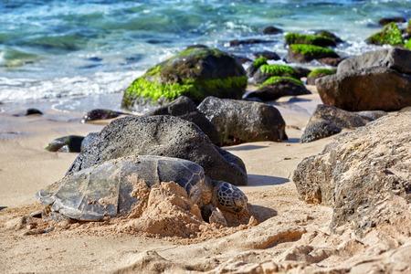 beached: Beached giant green sea turtle (Chelonia mydas) on sand at Laniakea (Turtle) beach, North shore, Oahu, Hawaii, USA Stock Photo