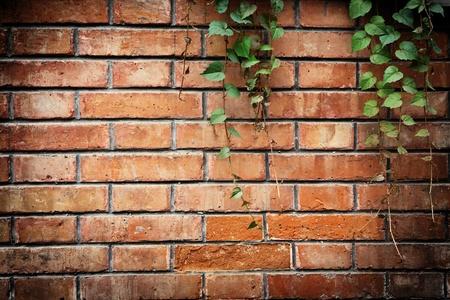 vine on brick wall photo