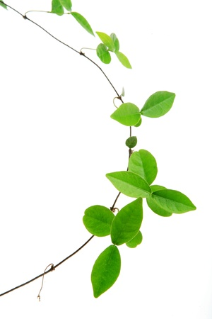 creepers: vine isolated on white background