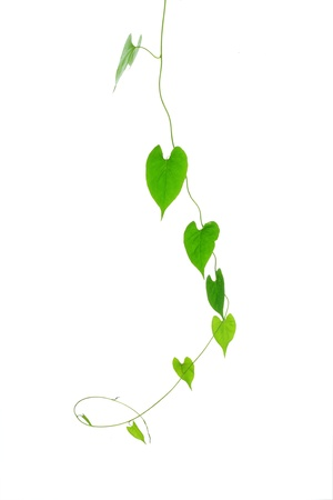 vine isolated on white background   Stock Photo - 13263068