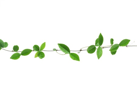 vine leaf: vine isolated on white background