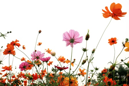 colorful daisies in grass field with white background photo