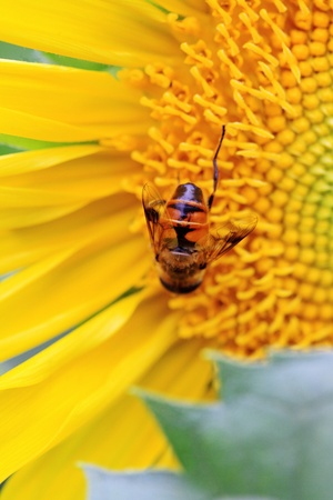 the closeup of a bee in the sunflower nectar collected photo
