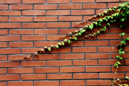 background of green ivy and red brick wall  photo
