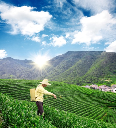 A farmer is spraying pesticides in tea garden photo