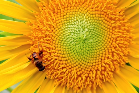 the closeup of a bee in the sunflower nectar collected Stock Photo - 13541418