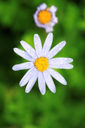 beautiful white camomile outdoor in the nature   photo
