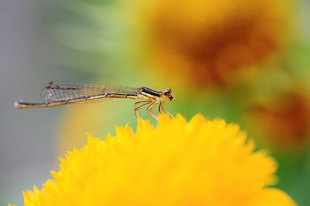 close-up shot of a  damselfly on yellow Chrysanthemum flower  Stock Photo - 13572972
