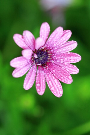 beautiful pink camomile outdoor in the nature  photo