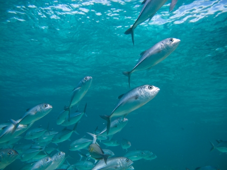 school of fish: huge school of jackfish