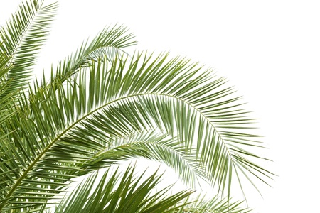 cycadaceae: palm leaf with white background Stock Photo
