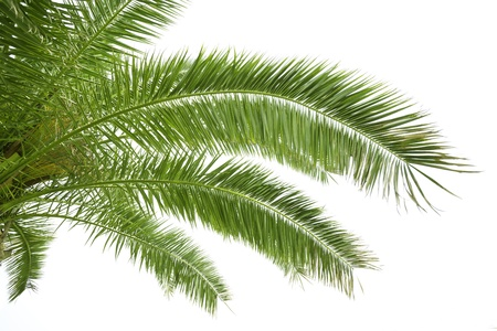 single tree: Palm leaves isolated on white
