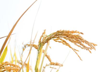 rice plant: rice plant  Stock Photo