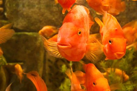 Tropical freshwater aquarium with big red fish Stock Photo - 25953799